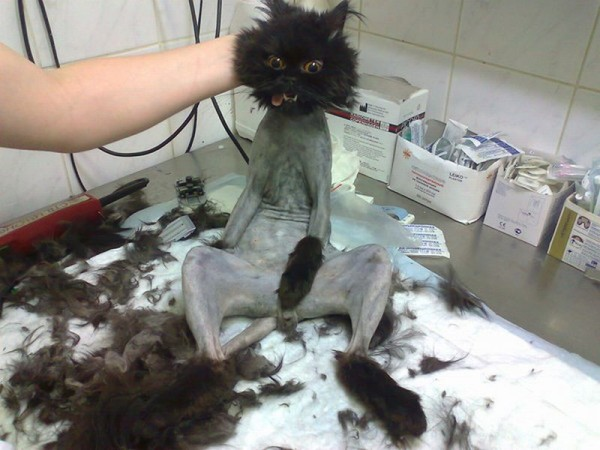 shocking-cat-haircut-600x450.jpg